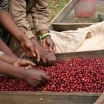 Sorting ripe cherry from the 2008 harvest in Beloya Village, Yirgacheffe, Ethiopia. Photo by Joseph Brodsky, Ninety Plus Coffee.