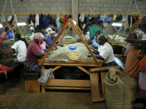 Coffee beans being sorted at the Socinaf Mill in Ruiru. Photo courtesy of Gordon Clark 2009.